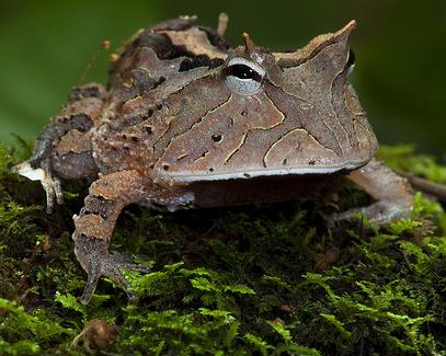 amazon-frog